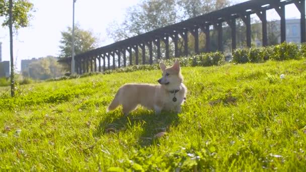 Schöner Corgi Hund beim Spazierengehen auf dem Rasen