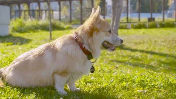Netter Corgi Hund sitzt auf dem Gras