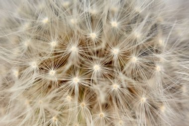 white dandelion flower with seeds, close-up