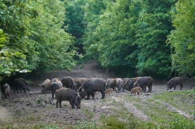 Herd of wild hogs rooting in forest for food