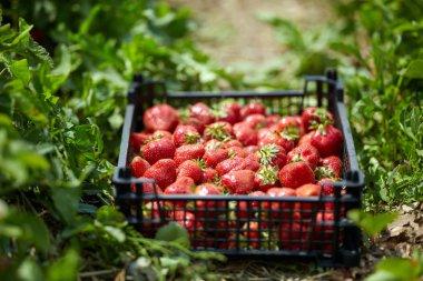 Fresh sweet strawberries in crate stock vector