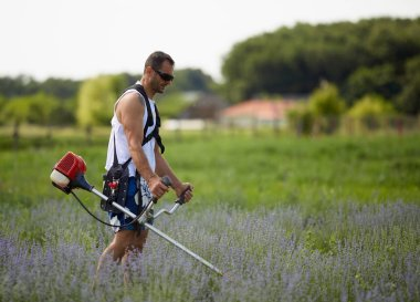 man in T-shirt, shorts and sunglasses mowing among lavender rows with brush cutter