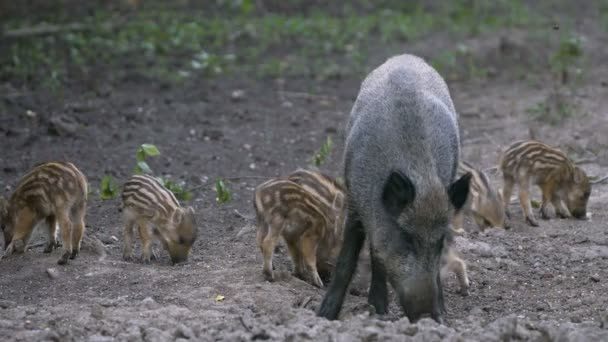 Wild hog piglets and family feeding in the forest