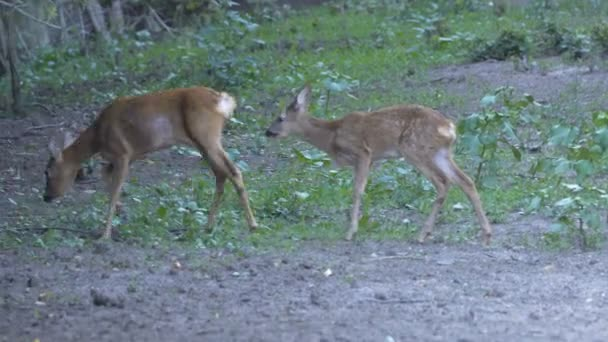 Adult deer and cute cub walking in wild nature at daytime