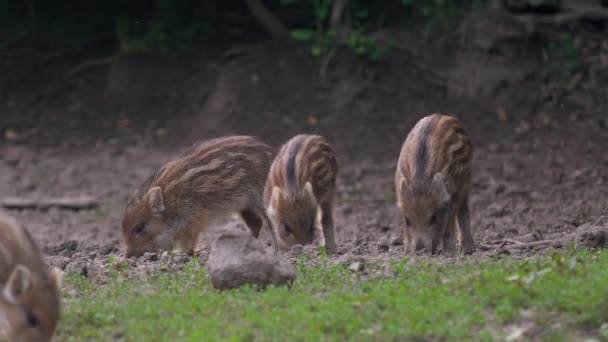 Cute wild hog piglets feeding in the forest