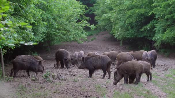 Large herd of wild pigs feeding in the forest