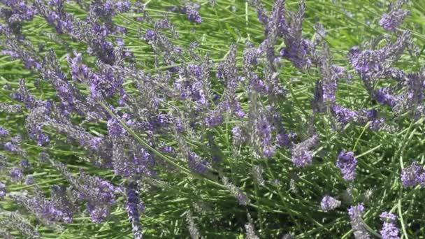 Beautiful Blooming Lavender