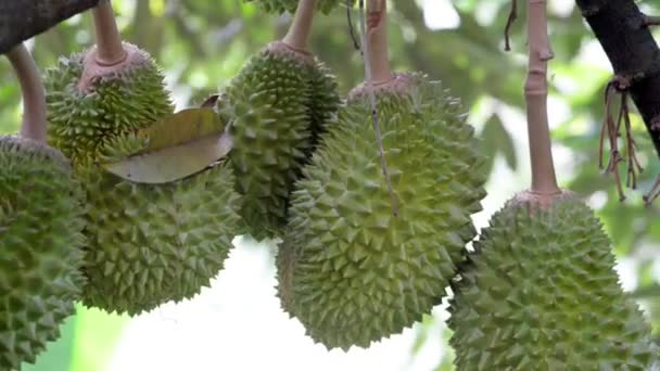 Fresh durian on the tree in the garden, king of fruit.