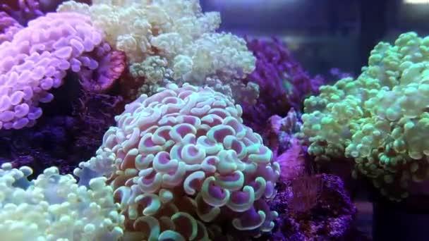 Elegance coral in saltwater aquarium