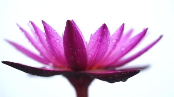 Pára a víz liliom virág, elszigetelt fehér background.