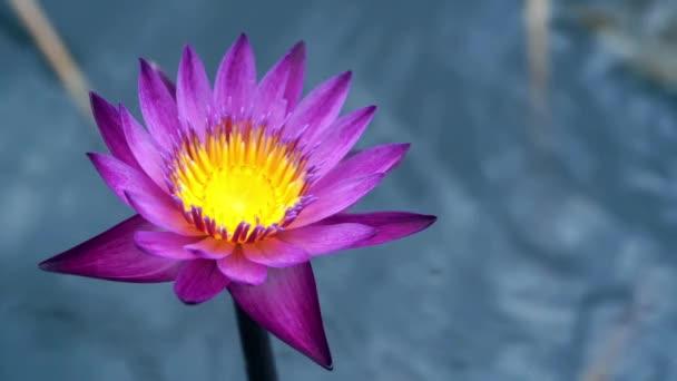 Slow motion: deště nad leknín květ v jezeře.