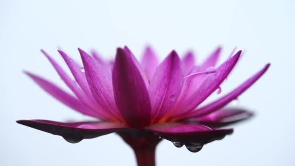 Déšť padá přes leknín květ izolovaných na bílém pozadí.