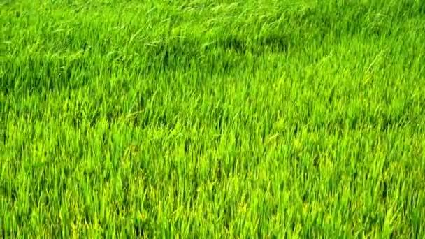 Zeitlupe: grüne Reisfelder mit Wind.