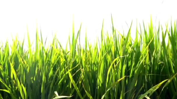 Slow motion: Field of a paddy at the windy day.