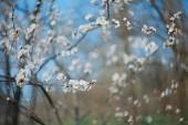 kvetoucí Meruňka strom