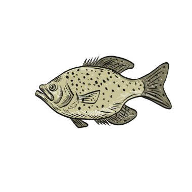 Drawing sketch style illustration of a crappie fish, papermouths, strawberry bass, speckled bass, specks, speckled perch, crappie bass, calico bass, a North American fresh water fish viewed from side.