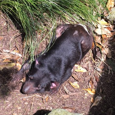 Photo of a Tasmanian devil, the largest carnivorous marsupial of the family Dasyuridae that is native to Australia particularly found in the wild only on the island of Tasmania, basking in the sun.