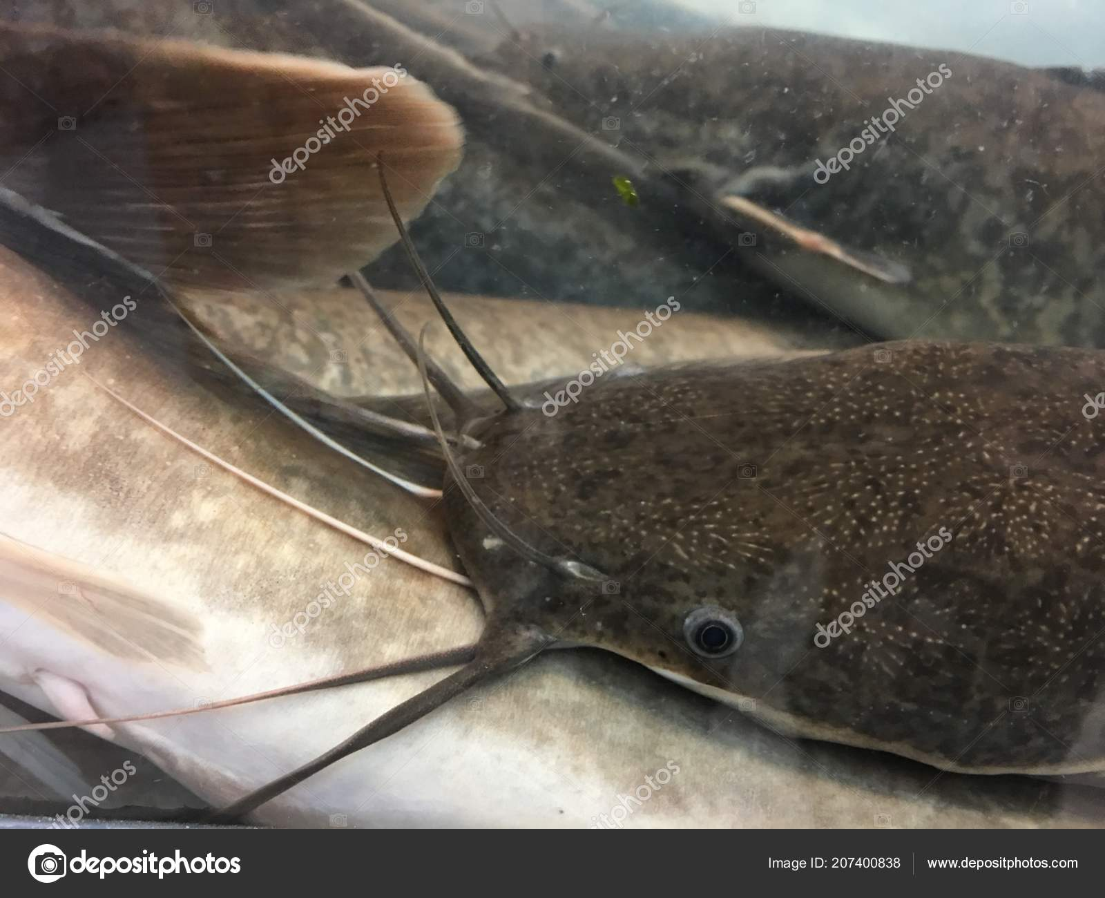 a description of clarias batrachus commonly referred to as the walking catfish Walking catfish (clarias batrachus) - collection record  batrachus: common name: walking catfish: state: fl:  locality [no locality description provided by.