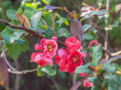 Fotografie Flowering branches Japanese quince, Chaenomeles japonica in water after rain drops  selective focus,