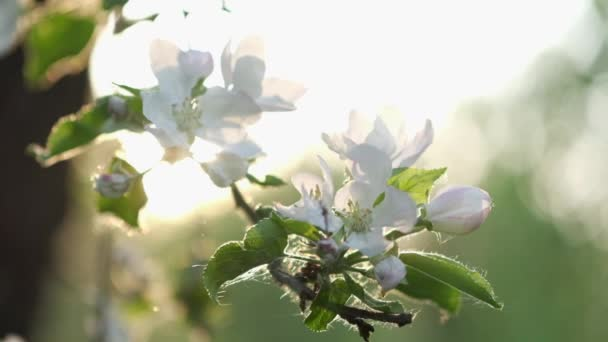 Blooming branch of apple tree with falling flower petals in the magnificent sunset light. Beautiful spring nature background. Slow motion.