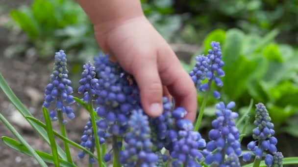 Close-up child hand touches blue muscari flowers. Feeling spring. Sensitivity to nature.