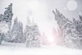 Fotografie Zimní krajina, zasněžené borovice