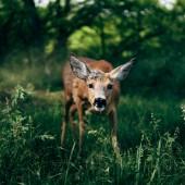 Szarvas az erdőben, állat-vadon élő állatok