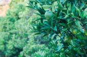 Lime tree growing