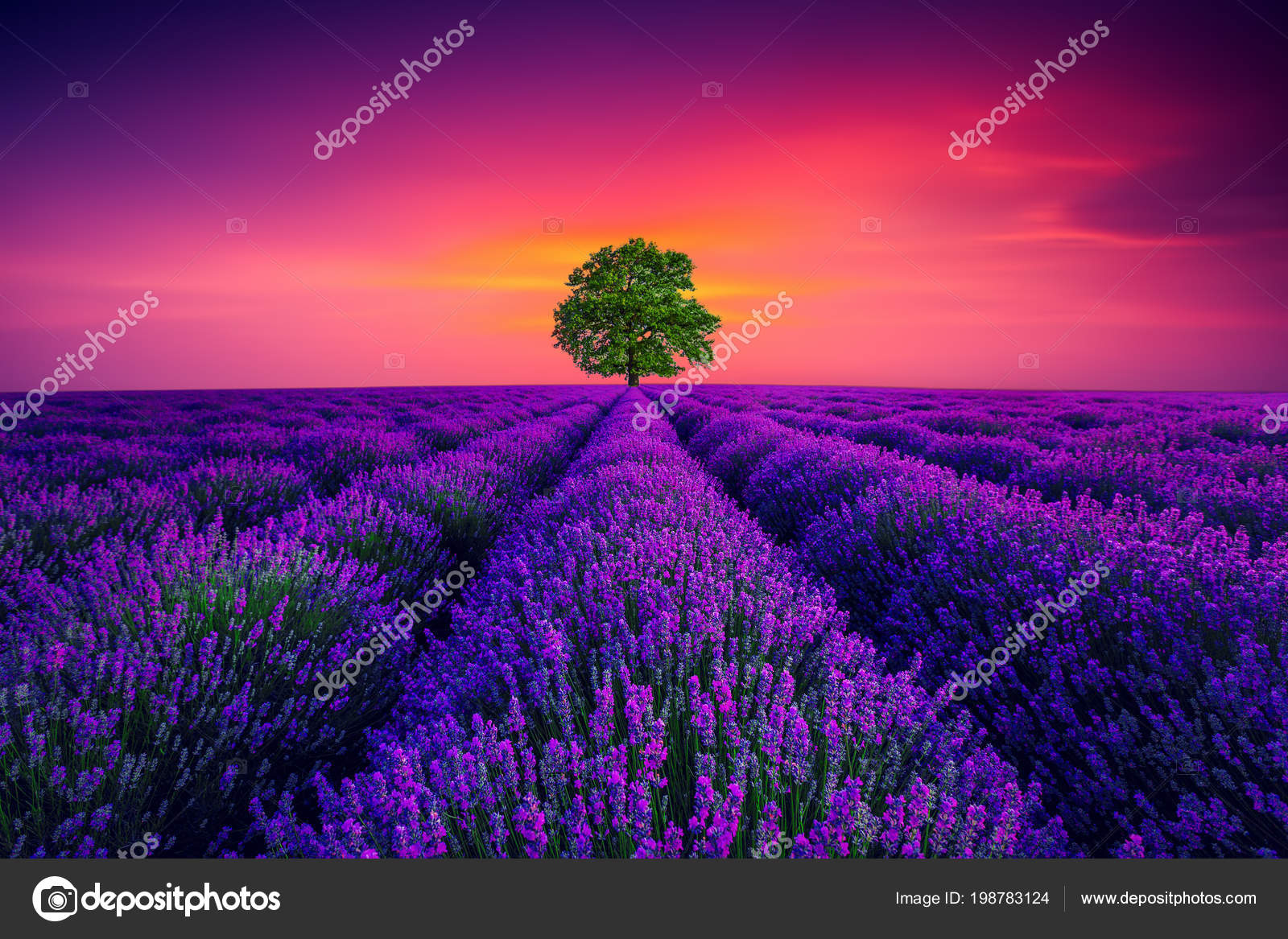 Tree Lavender Flower Blooming Scented Fields Endless Rows Stock