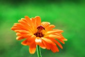 Ladybug and orange gerbera flower on sun against grass.