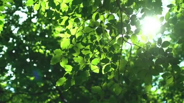 Erdei fák és a zöld levelek napfényben ragyogó videóinak