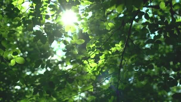 Waldbäume und grüne Blätter leuchten im Sonnenlicht -Video