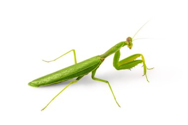 Beautiful green insect European Mantis or Praying Mantis isolated on white background.