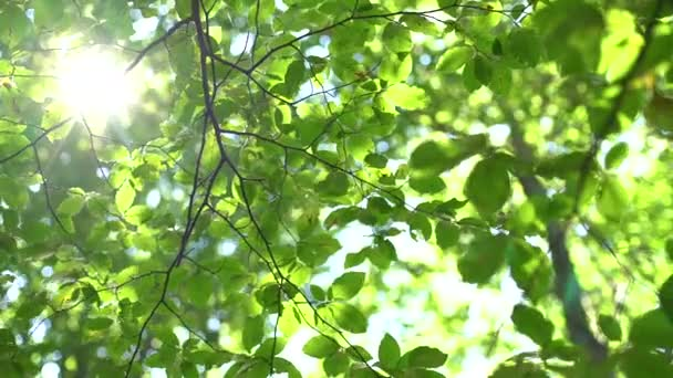 Sun glowing between fresh green leaves, trees in the forest