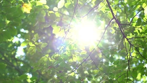 Lesní strom a zelené listy zářící ve slunečním světle, vintage objektiv video