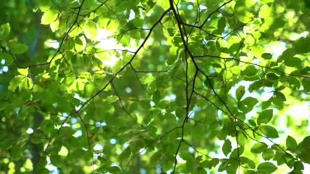 Fresh Green Tree Leaves and Sunlight. Sunbeams in the forest.