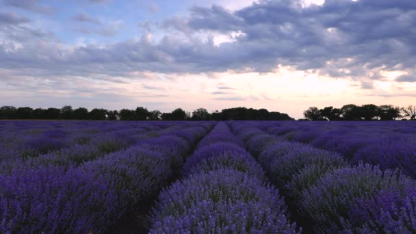 Lavender field and endless blooming rows, summer sunset landscape, Provence France