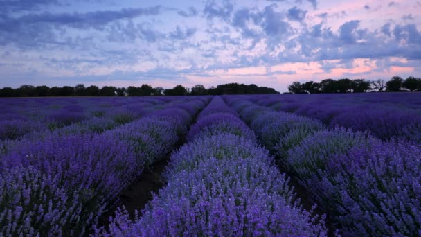 Lavender field and endless blooming rows, summer sunset landscape