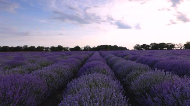 Levandulové pole a nekonečné rozkvetlové řady, letní západ slunce, Provence France