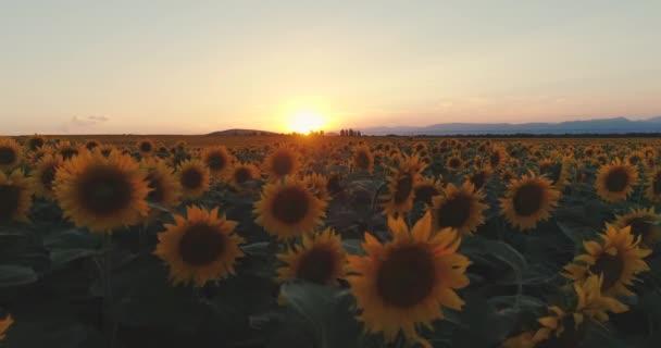 Západ slunce nad kvetouním polem slunečnic proti zatažené obloze. Krásné letní krajinné zemědělství.