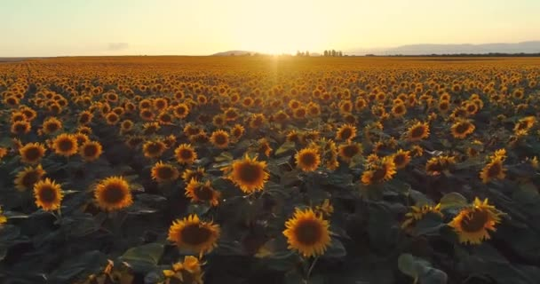 Sunflower field background on summer sunset. Aerial view from drone of yellow sunflowers field.