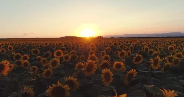 Slunečnicové pole a zlaté slunce