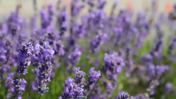 Lavender flowers in field with flying butterfly