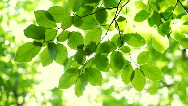 Zářící slunce skrze čerstvé zelené listy javoru na jaře.