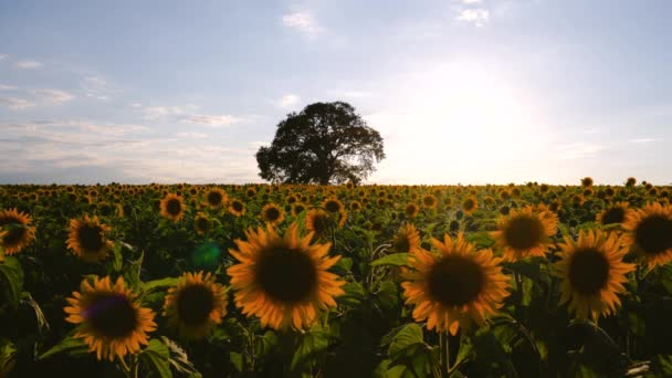 Field of blooming sunflowers and tree on a background sunset