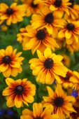 Field of yellow flowers of orange coneflower also called rudbeckia