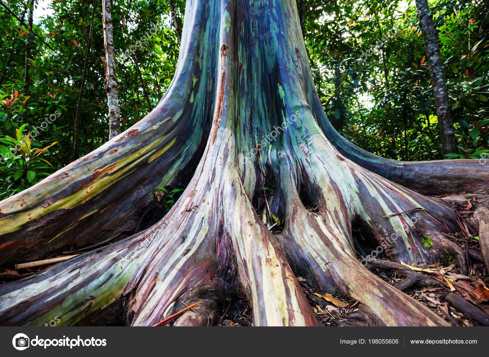 Rainbow Eucalyptus Tree Maui Island Hawaii