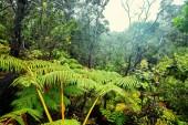 Fotografie Gigant fern trees in rainforest, Hawaii island
