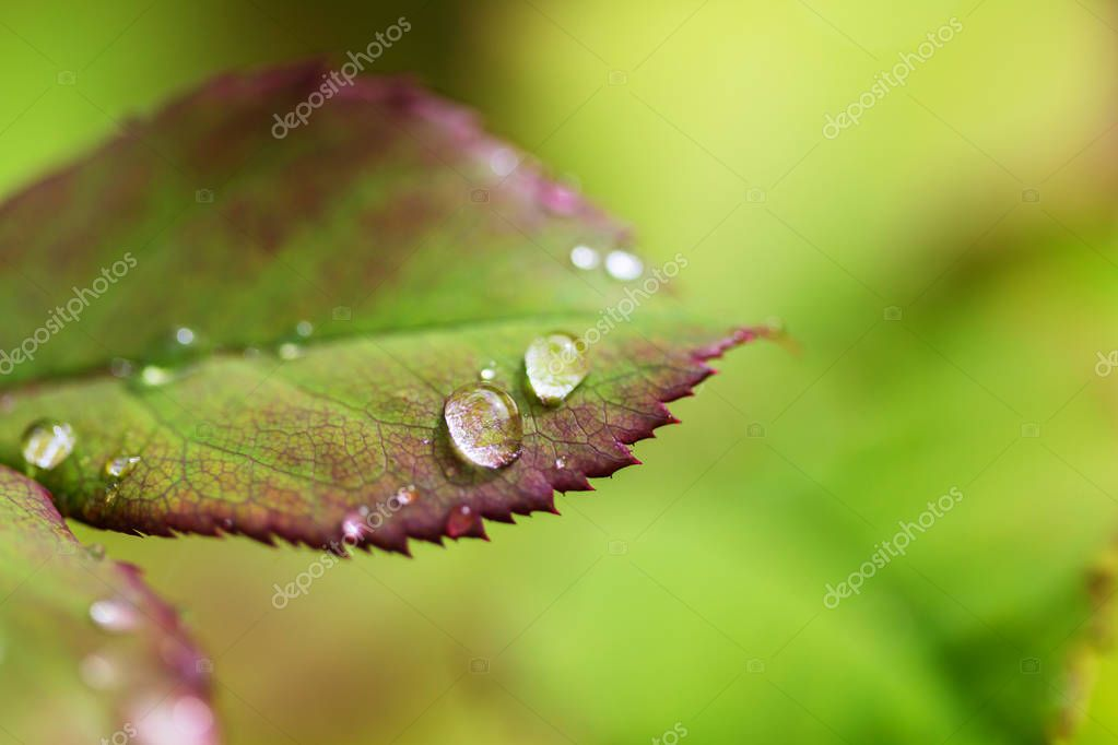 Green grass with dew drops closeup. Natural summer background.