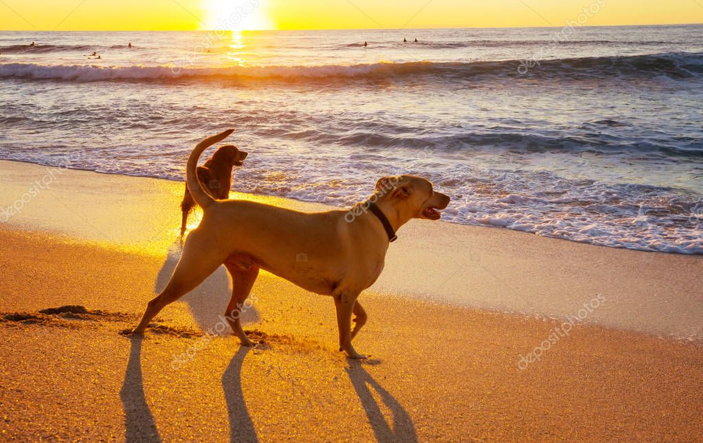 dogs on beach in Hawaii island